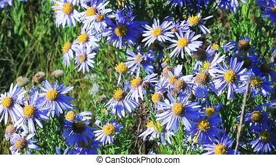 Blue chamomile flowers