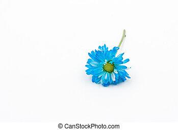 blue Chrysanthemum flower on white background