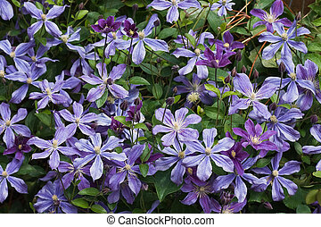 Blue clematis flowers in summer