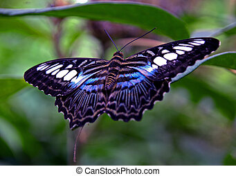 Blue Clipper Butterfly - Popular Malaysian butterfly the...