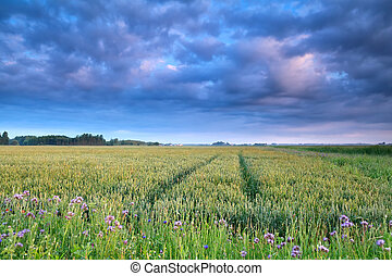 blue clouds over wheat field