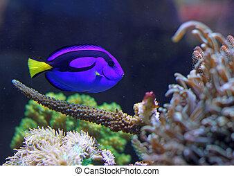 Blue colored tropical fish swimming in the marine aquarium
