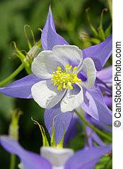 Beautiful fresh blue columbine flower close up