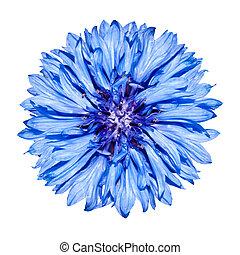 Blue Cornflower Flower head - Blue Centaurea cyanus Isolated on White Background