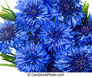 blue cornflower or bachelors button Centaurea cyanusblue - blue flower background