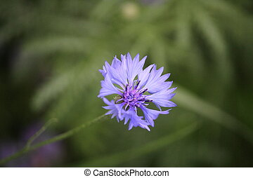 Blue Cornflower with a green background