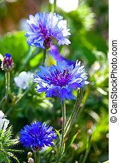 blue cornflowers growing in a field. small depth of sharpness