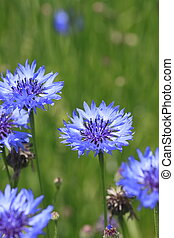 Blue cornflowers in field - Close up blue cornflowers and...