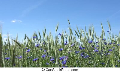 blue cornflowers in the wheat field with blue sky