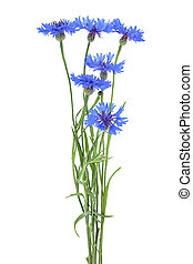 Blue cornflowers isolated on a white background