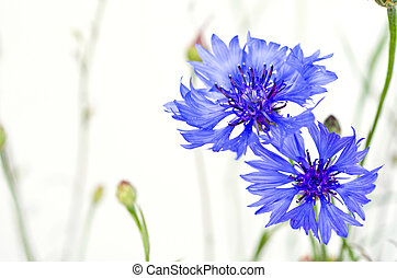 blue cornflowers isolated - a blue cornflowers isolated on...