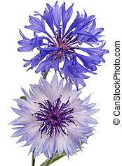 Blue cornflowers on white