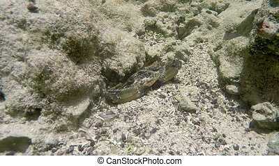 Blue crab hidden in the rocks and sand - Florida keys...