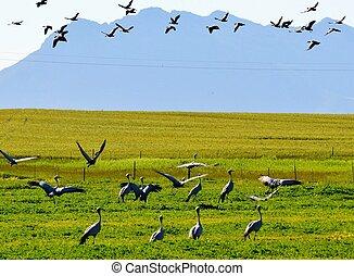 Blue Crane - Flock of Blue Crane birds on rural grasland