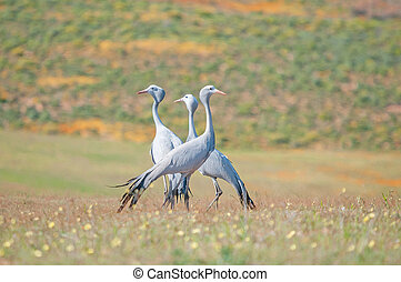 Blue Crane - The Blue Crane, Grus paradisea, is an...