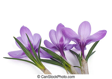 blue crocus isolated