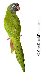 Blue Crown Conure - Blue Crown Parakeet isolated on white