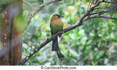 Blue-crowned Motmot perched in a tr