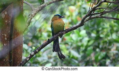 Blue-crowned Motmot perched in a tree