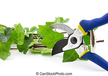 cutting secateurs with branches of ivy plant isolated