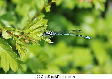 Blue damsel dragonfly