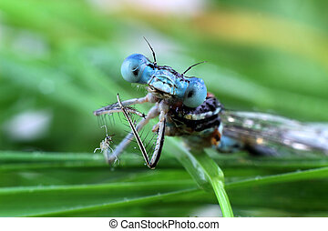Blue Damselfly close-up of the eyes