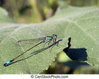 blue damselfly (Ischnura elegans) - Blue damselfly (Ischnura...