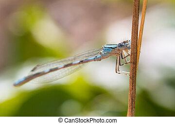 Blue Damselfly - Macro of a blue damselfly holding onto a...