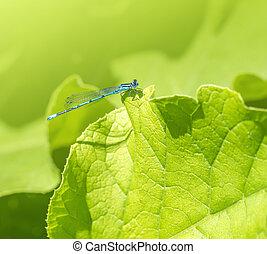 blue Damselfly resting on a leaf - sunny illuminated resting...
