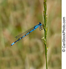 Blue damselfly against natural green meadow background