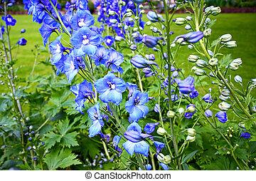 Blue delphinium close up - Blue delphinium in the garden ...
