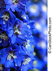 blue delphinium flower background