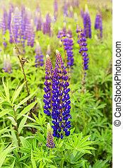 Blue delphinium flowers in green field