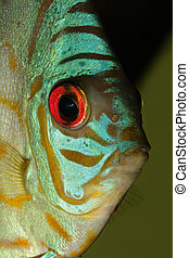 Blue discus fish - Close-up, underwater view of a colorful...