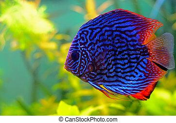 Blue discus fish