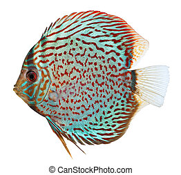 Blue Discus fish - Blue discus fish isolated on white...