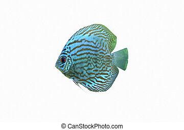 Blue Discus Tropical Aquarium Fish - A Blue Discus Tropical...