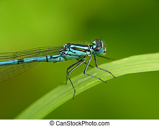 Blue Dragon Fly sitting on a blade of grass