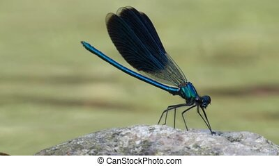 dragonfly - blue dragonfly on a rock along a river