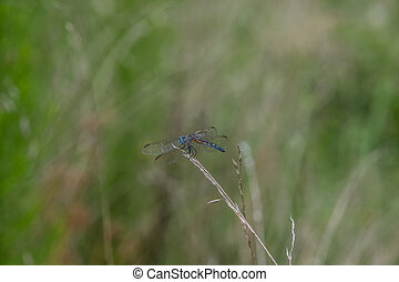 Blue dragonfly on tall grass