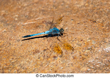 Blue dragonfly standing on a rock