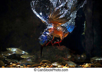Blue-eared Kingfisher - Male