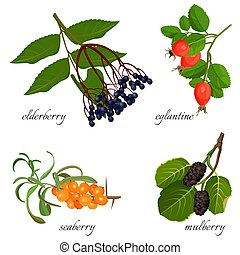 Blue elderberry, ripe eglantine, fresh seaberry and sweet mulberry on short branches with leaves. Wild plants with delicious berries vector illustrations set.