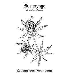 Blue Eryngo, or flat sea holly Eryngium Planum , medicinal plant. Hand drawn vector illustration