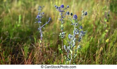 Several specimens of Eryngium planum in the wild, with their typical blue color, swaying in a gentle breeze.