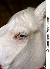 blue eye macro detail of a white horse