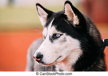 Blue-eyed Adult Siberian Husky Dog portrait