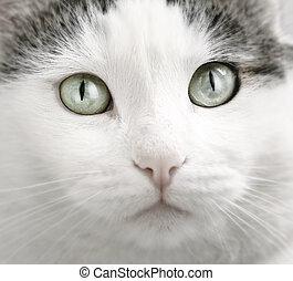 blue-eyed cat close up portrait