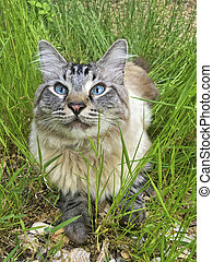 Blue Eyed Cat in the Grass