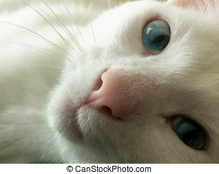 Blue Eyed Cat Looking at the Camera